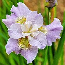 Dawn Waltz Siberian Iris