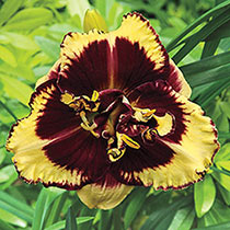 Tiger Blood Reblooming Daylily