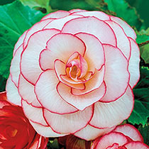 Rosebud Begonia