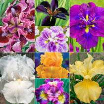 2 Month of Flowering Iris Collection