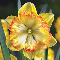 Blazing Star Daffodil