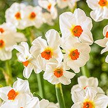 Cragford Daffodil