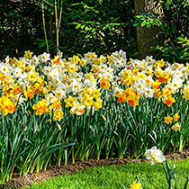 Southern Daffodil Mixture