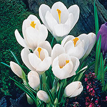 Jeanne d'Arc Giant Dutch Crocus