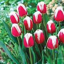 Timeless Tulip