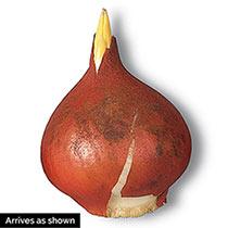 Sonnet Tulip