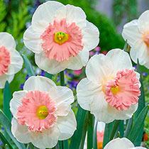 Pink Parasol Daffodil