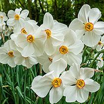 Actaea Daffodil