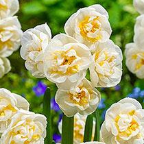 Bridal Crown Daffodil