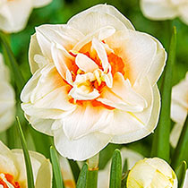 Flower-Parade Daffodil