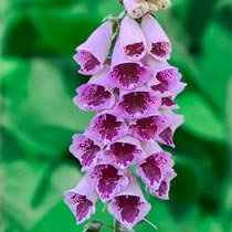 Foxglove Collection