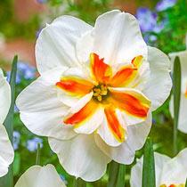 Sorbet Daffodil