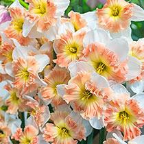 Mallee Daffodil