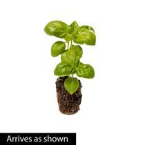 Sweet Basil Herb Plant