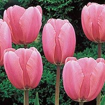 Wow!® Deluxe Perennial Tulip Collection