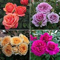 Downton Abbey® Rose Collection
