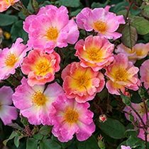 Watercolors Home Run Shrub Rose Collection
