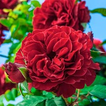 Lady in Red Climbing Rose