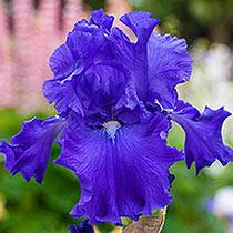 Blue Suede Shoes Reblooming Bearded Iris