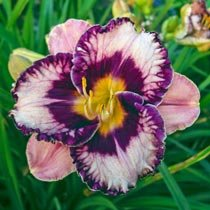 Exotic Treasure Reblooming Daylily