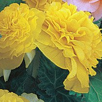 Yellow Everblooming Begonias
