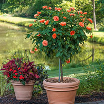 """Easy Does It™ 36"""" Patio Tree Rose"""