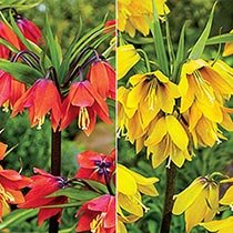 Crown Imperial Collection