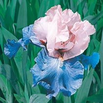 Poem of Ecstasy Bearded Iris