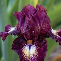Tennison Ridge Reblooming Tall Bearded Iris