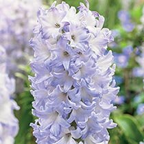 Chicago Hyacinth