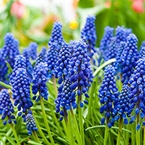 Blue Grape Hyacinths