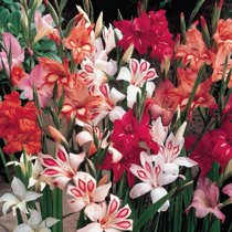 Hardy Gladiolus Mixture