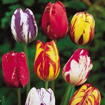 Improved Rembrandt™ Tulip Mixture