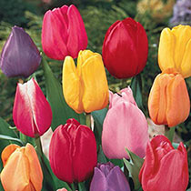 Breck's® Kaleidoscope Tulip Mixture
