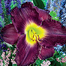 Ultimate Kaleidoscope of Colour Reblooming Daylily Collection