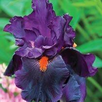 Dracula's Kiss Bearded Iris