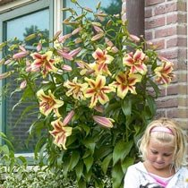 Lavon® Lily Tree®