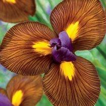 Eye of the Tiger Dutch Iris