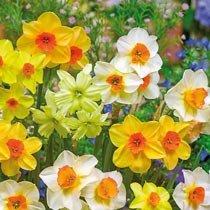 Solar Flair™ Daffodil Mixture