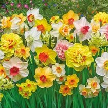 Technicolour™ Daffodil Mixture