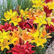 Carpet Border Lilies