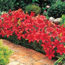 Red Carpet Border Lilies™