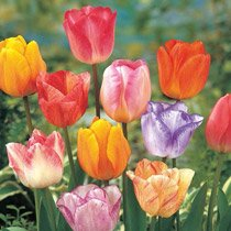 Colour Magic™ Tulip Mixture
