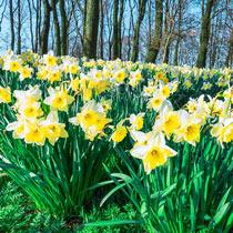 Ice Follies Daffodil