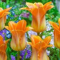 Je t'Aime Tulip