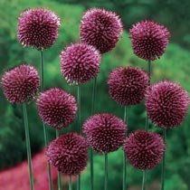 Carefree Allium Collection