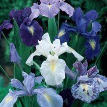 Cool Shades Dutch Iris Mixture