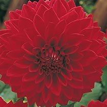 Classic Dinnerplate Dahlia Collection Opens a dialog  sc 1 st  Breck\u0027s : dinner plate dahlias - pezcame.com