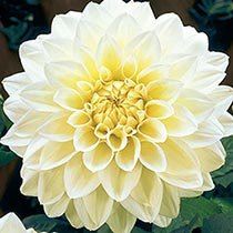 Classic Dinner Plate Dahlia Collection