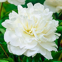 Shirley Temple Peony